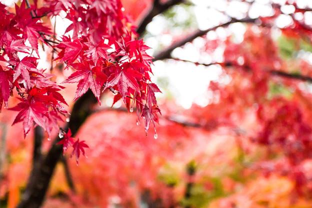 掛著珠珠的楓葉