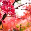 写真: 掛著珠珠的楓葉