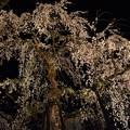 瑞龍寺の枝垂桜