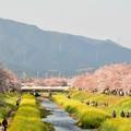 佐奈川堤の桜と菜の花