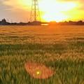 夕日に照らされ黄金に輝く