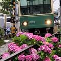 写真: 江ノ電と紫陽花