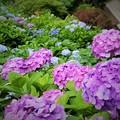 写真: 紫陽花の中
