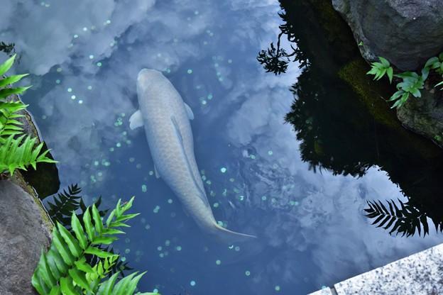 すっごい大きな鯉でした。