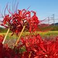 紅の曼珠沙華