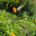 写真: キバナコスモスにアゲハチョウ