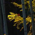 写真: 紅葉と竹