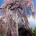 慈雲寺のイトザクラ(5)
