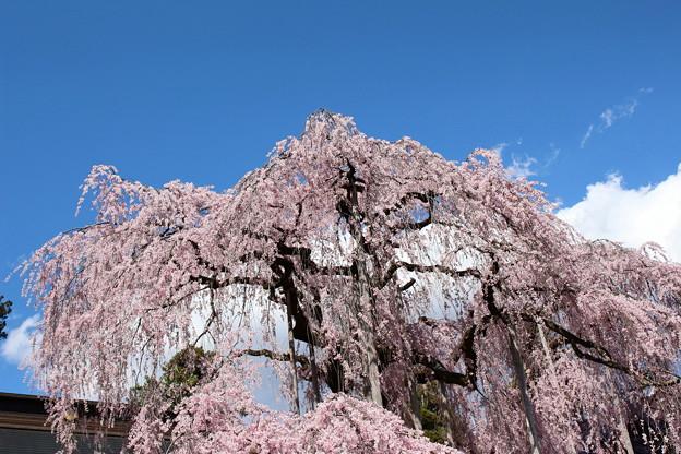 慈雲寺のイトザクラ(2)