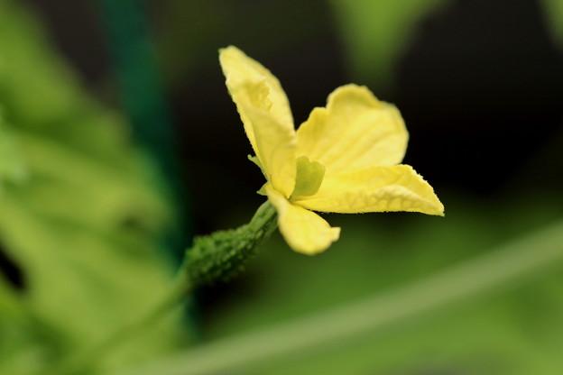 ゴーヤの花(雌花)