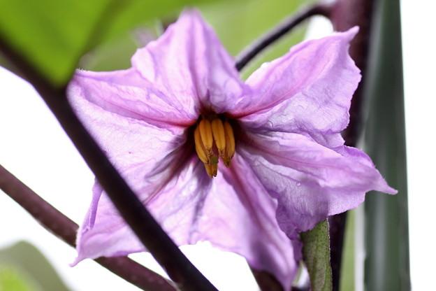 茄子の花(2)