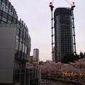 写真: 東京ミッドタウンの桜