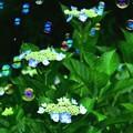 写真: 額紫陽花とシャボン玉