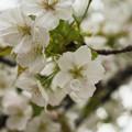 造幣局 桜の通り抜け 2017 (33)