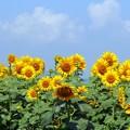 写真: 夏バテの一輪