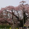 三春の滝桜(樹齢千年)