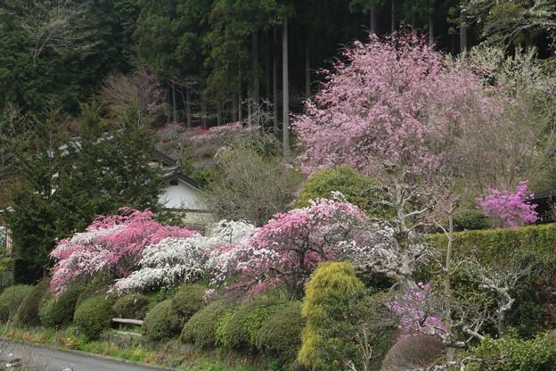 熊平の花桃とベニシダレザクラ(紅枝垂れ桜) バラ科