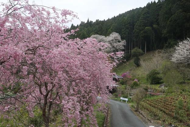 熊平のベニシダレザクラ(紅枝垂桜)とエドヒガン(江戸彼岸) バラ科