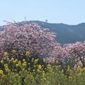 写真: 菜の花、花桃、富幕山