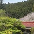 写真: 新緑の紅葉と桜