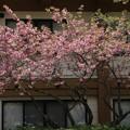 ヤエザクラ(八重桜) バラ科 カンザン (関山)