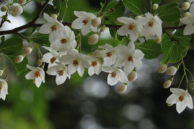 エゴノキ (萵苣の木、チャシャノキ) 轆轤木(ロクロギ)