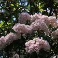 カルミア  アメリカ石楠花(しゃくなげ))