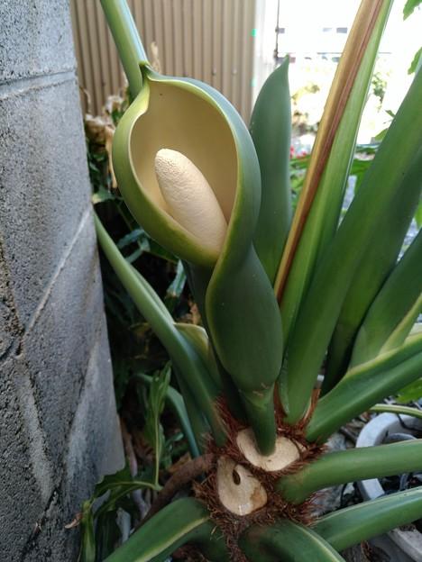 Photos: imuさんより送られた分からない花名観葉植物セローム :サトイモ科