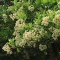 サンゴジュ(珊瑚樹) スイカズラ科