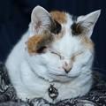 家の眠り老猫 みかん ♀