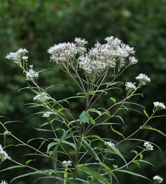 ヒヨドリバナ(鵯花 )  キク科