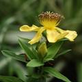 以前豊橋の(K)さんから貰った種から育てた苗のトモエソウも咲いた。 トモエソウ(巴草)  オトギリソウ科