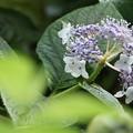 写真: 緑の葉の前ぼけ入れて見ました。タマアジサイ(玉紫陽花) ユキノシタ科