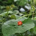 マルバルコウ(丸葉縷紅)  ヒルガオ科