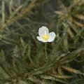 オオカナダモ(大カナダ藻) トチカガミ科