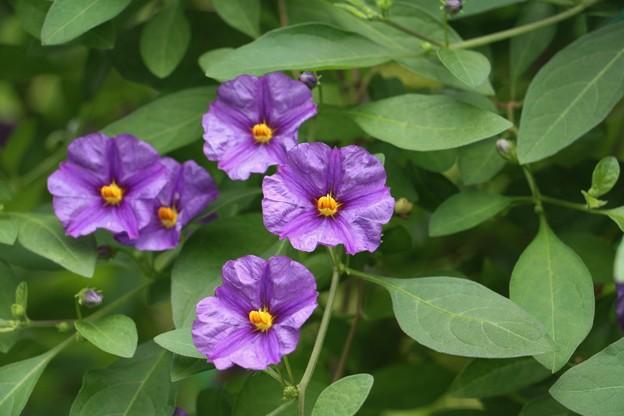 ムラサキハナナ(紫花菜)  ナス科