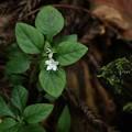 シロバナイナモリソウ(白花稲盛草) アカバナ科
