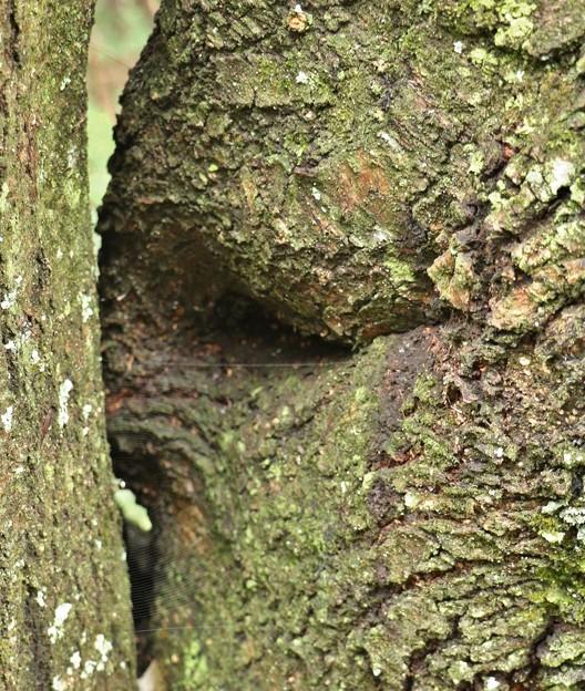 自然の造形木 イヌザクラ(犬桜) バラ科の木