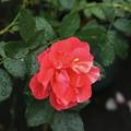 写真: 薔薇:フランシスデュプロイ