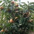 庭の柿の木 ジロウガキ(次郎柿)