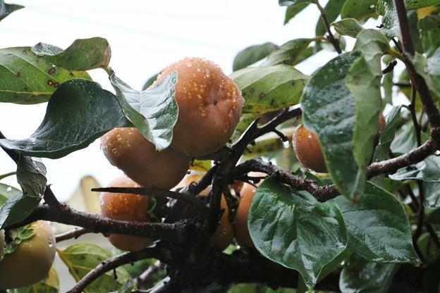 写真: 庭の柿の木 ジロウガキ(次郎柿)