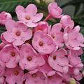 写真: ニオイザクラ(匂い桜)「ルクリアアッサムニオイザクラ」