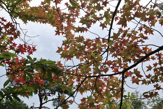 森林公園 モミジバフウ(紅葉葉楓) フウ科