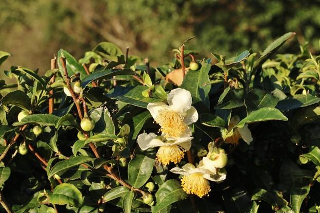 チャノキ(茶の木) ツバキ科