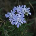 Photos: まだ綺麗に咲いてました。マツムシソウ(松虫草) マツムシソウ科