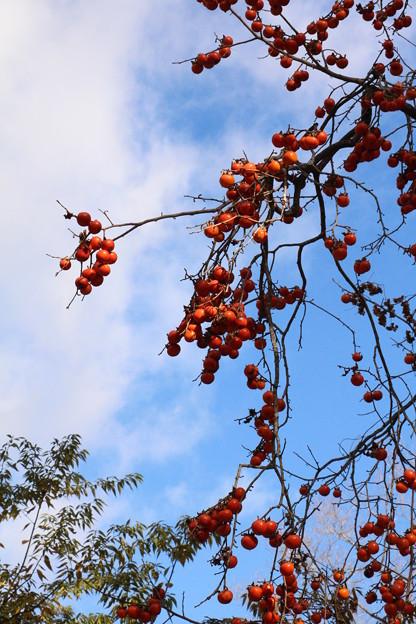 ヤマガキ(山柿)  カキノキ科
