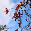 写真: ヤマガキ(山柿)  カキノキ科