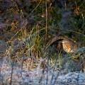 アカガシラサギ 冬羽 (2)