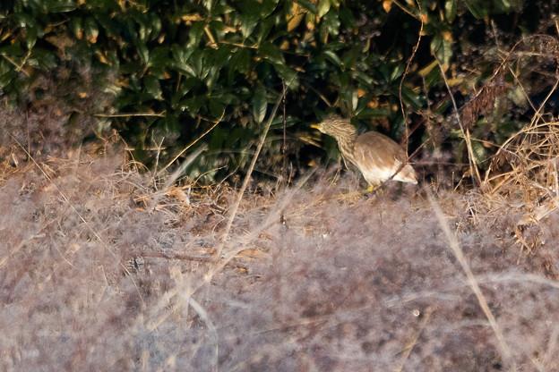 アカガシラサギ 冬羽 (3)