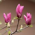 紫木蓮 D3389